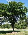 Ulmus laciniata v nikkoensis.jpg