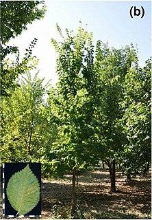 <i>Ulmus minor</i> Dehesa de la Villa Elm cultivar