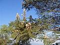 Una planta con flores de Mexico.JPG