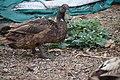 Unidentified Thai Duck.JPG
