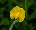 Unidentified flower, Rembangan, Jember 02.jpg