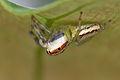 Unknown jumping spider (14518125052).jpg