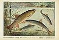 Unsere Süßwasserfische (Tafel 49) (6103152294).jpg