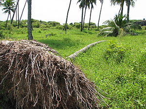 Uprooted coconut tree alive