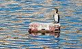 Urban cormorant.jpg