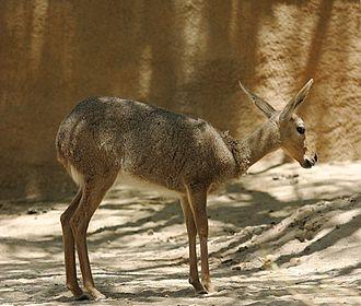 Grey rhebok - A female at the San Diego Zoo