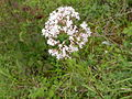 Valeriana repens les-monthairons 55 01072007 1.JPG