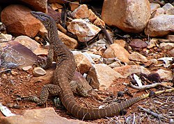 Gould's Monitor or Sand Goanna in the Chace Range, South Australia