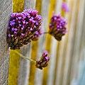 Verbena bonariensis (mendhak) 001.jpg