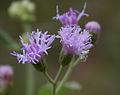 Vernonia cinerea (Ash Fleabane) in Talakona forest, AP W IMG 8552.jpg
