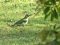 Vert betche-bos Picus viridis.jpg