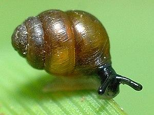 Desmoulin's whorl snail - Vertigo moulinsiana