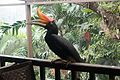 Very intelligent Great Hornbill (25934164182).jpg