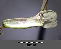 """Vicia grandiflora """"subsp."""" sordida sl19.jpg"""