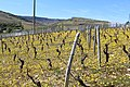 Vignes Molard Davayé 1.jpg