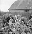 Village Gardens Feed Schoolchildren- Food Production at Knighton-on-teme, Worcestershire, England, UK, 1943 D17504.jpg