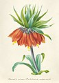 Vintage Flower illustration by Pierre-Joseph Redouté, digitally enhanced by rawpixel 47.jpg