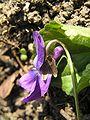 Viola odorata2JPG.jpg