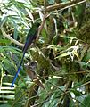 Violet-tailed Sylph. Aglaiocercus coelestis. - Flickr - gailhampshire.jpg