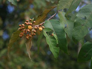 <i>Vismia</i> genus of plants
