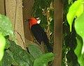 Vogel mit rotem Kopf.jpg