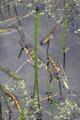 Vogelsberg Oberes Niddatal Forellenteiche Schotten NP 164885 Equisetum ramosissimum.png