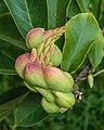 Vruchten van Magnolia (beverboom) 02.jpg