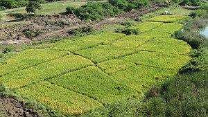 Economy of Telangana - Paddy fields in Warangal district