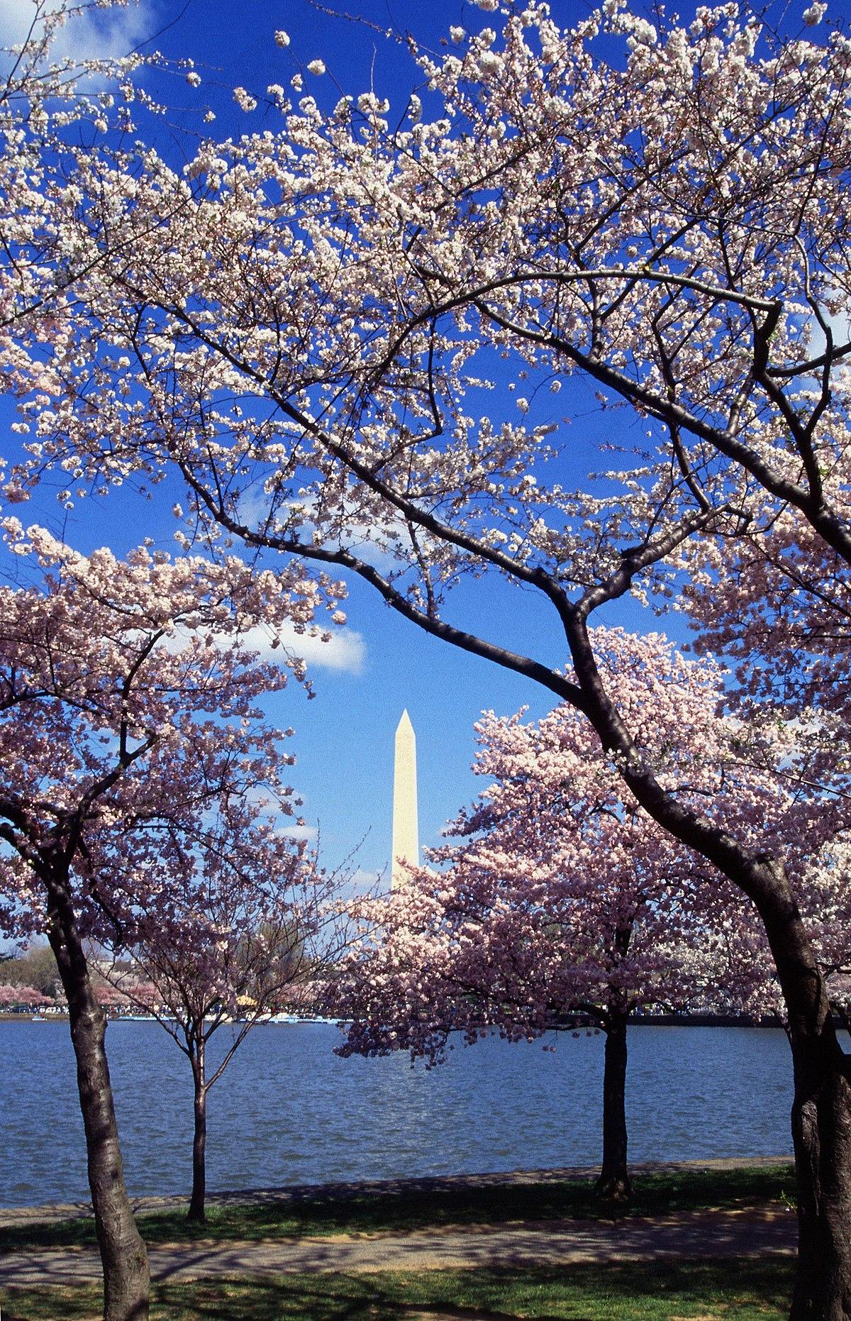 Arbol De Cerezo Japones festival nacional de los cerezos en flor - wikipedia, la