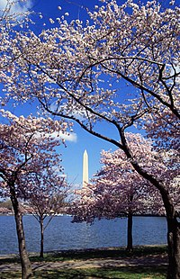 The Tidal Basin in Washington, DC showing cherry trees in flower