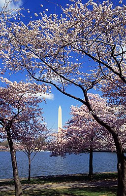 Washington C D.C. Tidal Basin cherry trees