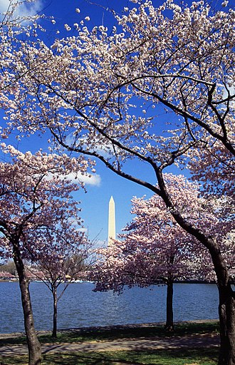 National Cherry Blossom Festival - The Washington Monument, as seen from West Potomac Park across the Tidal Basin