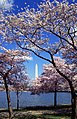 Washington C D.C. Tidal Basin cherry trees.jpg