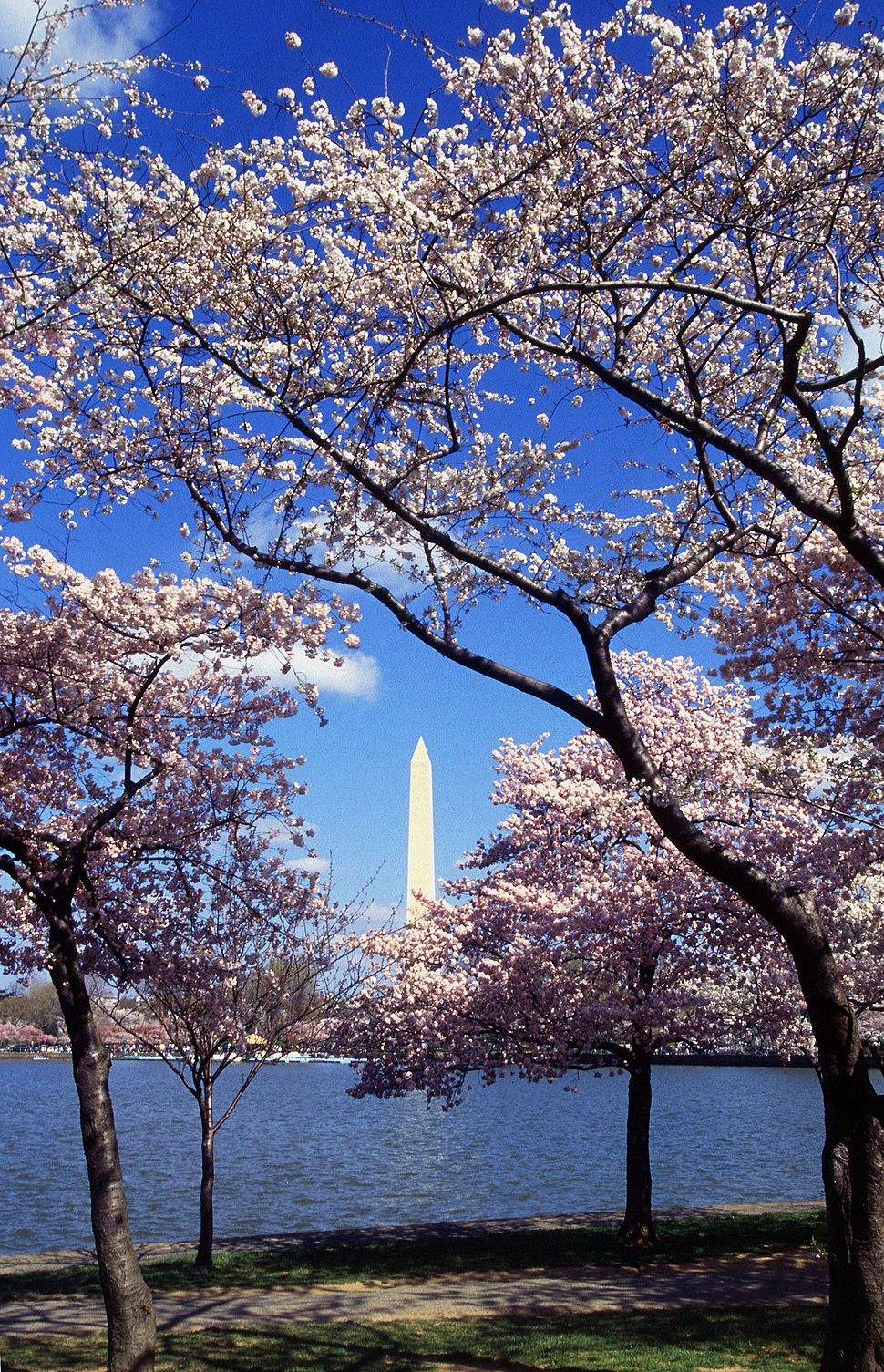 Washington C D.C. Tidal Basin cherry trees