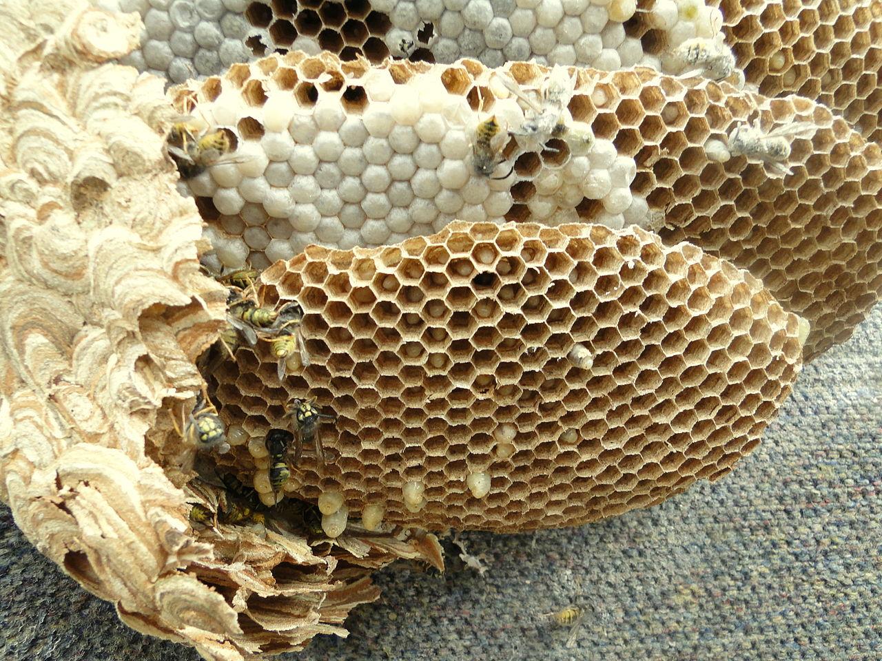 File Wasp Nest 1 Jpg Wikimedia Commons