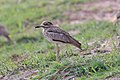 Water thick-knee in Zimbabwe.jpg