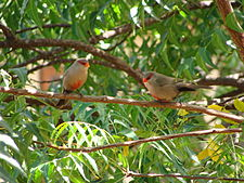 Waxbills Ascension Island.JPG