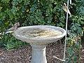 Waxwing Bathtime (16225887932).jpg