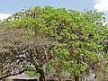 Weeping Boer Bean (Schotia brachypetala) (31643031774).jpg