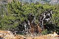 Western juniper Juniperus occidentalis bonsai.jpg