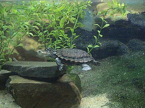 Description de l'image Western swamp tortoise.JPG.