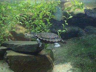 Western swamp turtle - Pseudemydura umbrina, Western swamp turtle