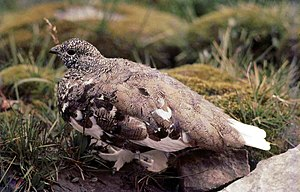 White-tailed ptarmigan - Image: White tailed Ptarmigan, Rocky Mountains, Alberta