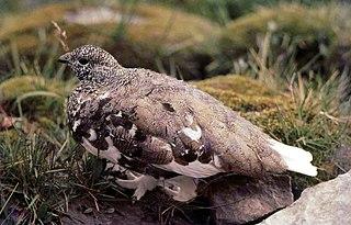 White-tailed ptarmigan Species of bird