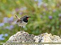 White-tailed Rubythroat (Luscinia pectoralis) (35524939053).jpg