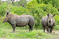 White Rhinos (Ceratotherium simum) (17291955399).jpg