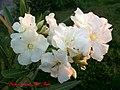 White oleander flowers - panoramio - youssef alam.jpg