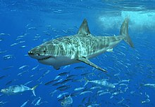 A great white shark swimming a few meters below the surface, above a school of much smaller fish.