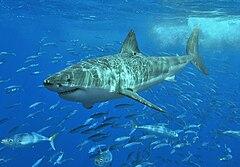 """Los condrictios (Chondrichthyes, del griego kh?ndros, """"cart?lago"""" y ikhth?s, """"pez"""") son una clase de vertebrados acu?ticos conocidos vulgarmente como peces cartilaginosos, denominaci?n que hace referencia a que su esqueleto es de cart?lago, a diferencia del de los peces ?seos (osteictios), que lo tienen de hueso. Tibur?n blanco"""