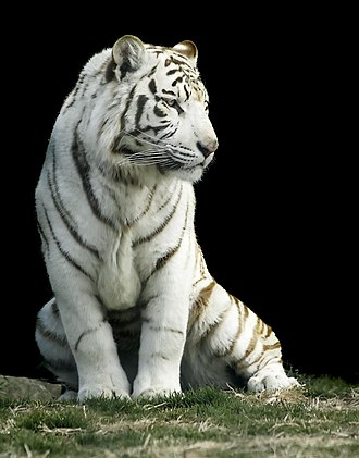 Inbreeding - White tiger in Gunma Safari Park